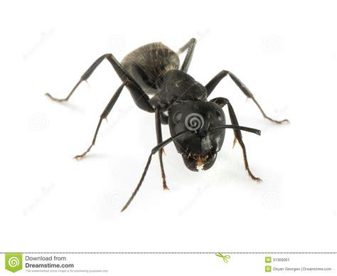 Imagenes Hormigas Negras | hormigas negras imagen de archivo imagen de fauna macro