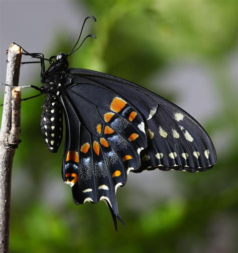 black swallowtail butterfly all of nature black swallowtail butterfly emerges