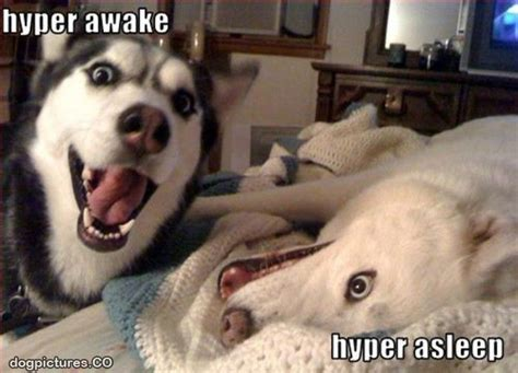 Hyper Dog Meme - hyper dogs dog pictures