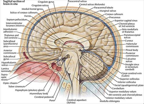 human brain sagittal section the nervous system political amusements