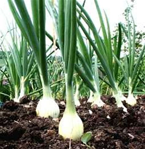 Gardening Onions by The Garden Of For Gardeners Garden Tools World