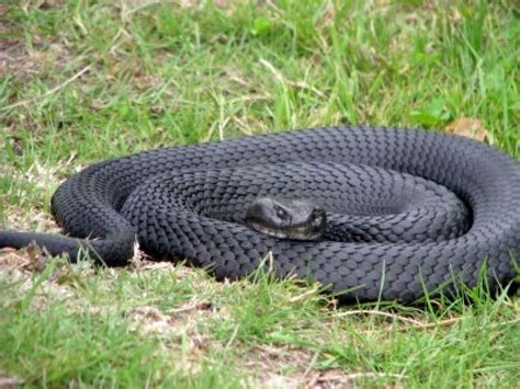 Black Snake by Hd Wallpaper Of Black Snake Hd Wallpapers