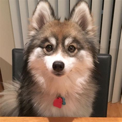 husky pomeranian mix norman the pomeranian husky mix one puppy that will melt your