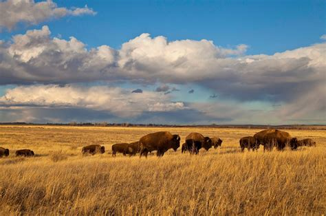 how to a prairie restoring the great american prairie nature