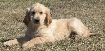 golden cocker retriever cost 25 best ideas about golden cocker retriever on golden cocker spaniel