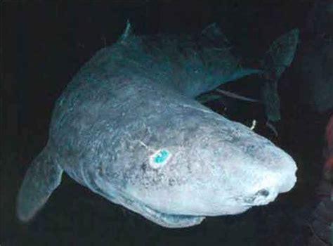 Greenland Sleeper Shark by 2009oceans5 Greenland Shark
