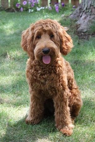 doodle dogs indiana labradoodles of the