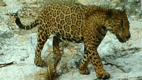 arizona s elusive jaguar leads intriguing cnn
