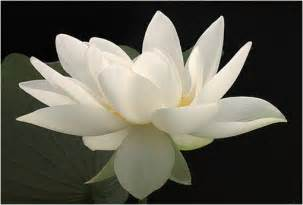 White Lotus Gallery White Lotus Flower Picture Jpg 1 Comment