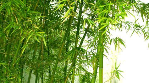 Lukisan Kaligrafi Bambu Yellow Green Fresh Green Bamboo Wallpaper Hd Wallpaper Wallpaperlepi