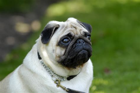 different pugs photo gallery