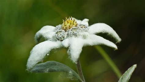 edelweiss fiore alpino valle brembana flora orobie leontopodium alpinum cass