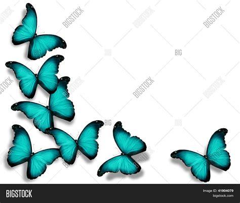 imagenes mariposas turquesas imagen y foto mariposas de color turquesa de la bigstock