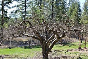 how to prune apple trees beyond the chicken coop