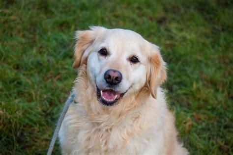golden retriever rescue uk south east golden retriever dogs for adoption and rescue