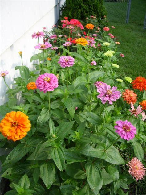 Zinnia Flower Garden 9 Best Images About Zinnias On Gardens Zinnia Garden And Homesteads