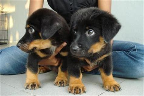 rottweiler puppies 2 month rottweiler puppies 2 month www pixshark images galleries with a bite