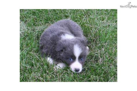 border collie puppies for sale in iowa border collie puppy for sale near des moines iowa 0dd7181f 5131
