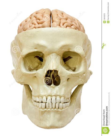 imagenes de calaveras humanas cr 225 neo humano con el cerebro fotograf 237 a de archivo