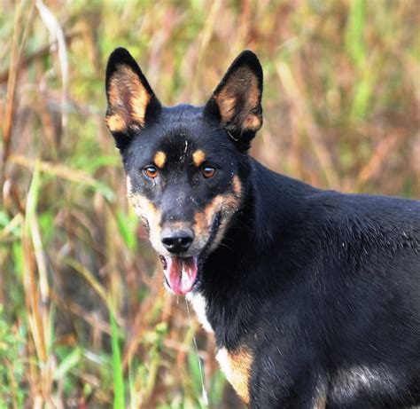 feral dogs canis familiaris