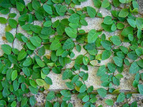 Artificial Climbing Plants - ficus pumila
