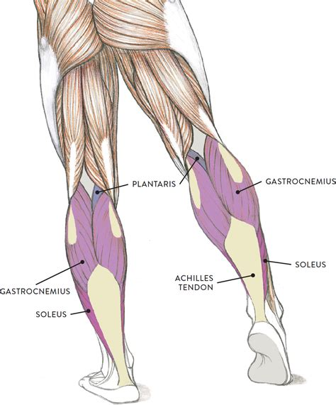 calf diagram muscles of the leg and foot classic human anatomy in