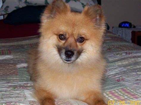 blooded pomeranian ozzy was a blooded pomeranian without a doubt lived a pet