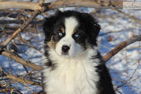 australian shepherd puppies in michigan australian shepherd puppy for sale near battle creek michigan 915bbd82 cba1