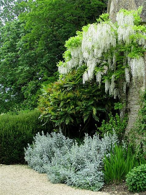 ahhh what blooms white wisteria gardens pinterest