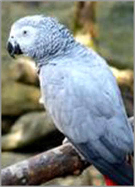 african grey inherited traits about parrot training temperament characteristics