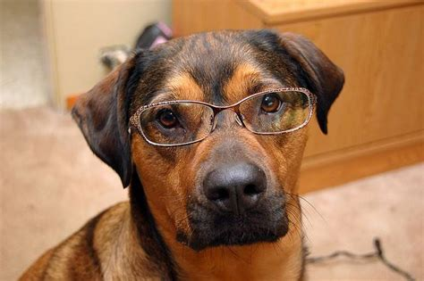 human dogs 31 photos of dogs wearing glasses mnn nature network
