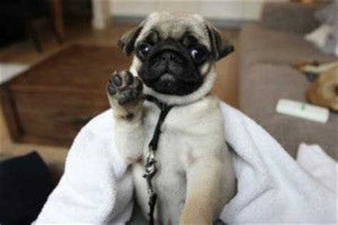 hi puppies 2 puppy pug saying hi pug