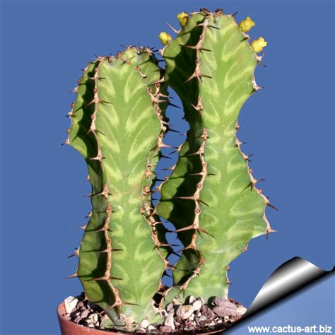 euphorbia pseudocactus