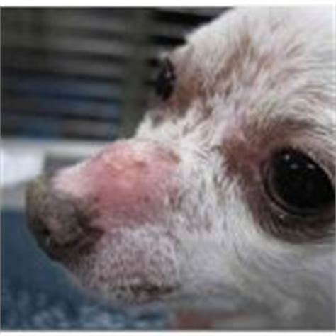 symptoms of brain tumor in dogs early symptoms of mange in dogs pictures reference