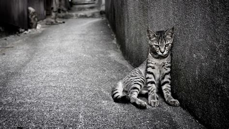 wallpaper egypt cat egyptian mau cat on the street wallpapers and images