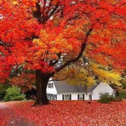 acero rosso in vaso semi di acero rosso albero giapponese pianta 10 semi
