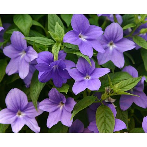 plant with purple flowers proven winners endless illumination browallia live plant