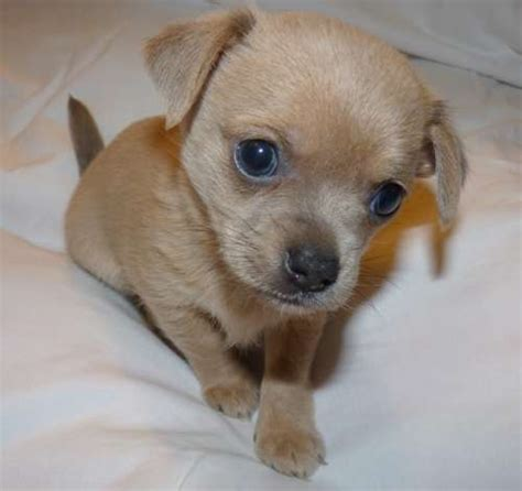 cutest puppies for sale dogs for sale chihuahua puppies for sale in australia stuff to buy
