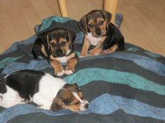bogle puppies for sale this is a quot bogle quot boxer beagle mix looks just like our auggie dogs