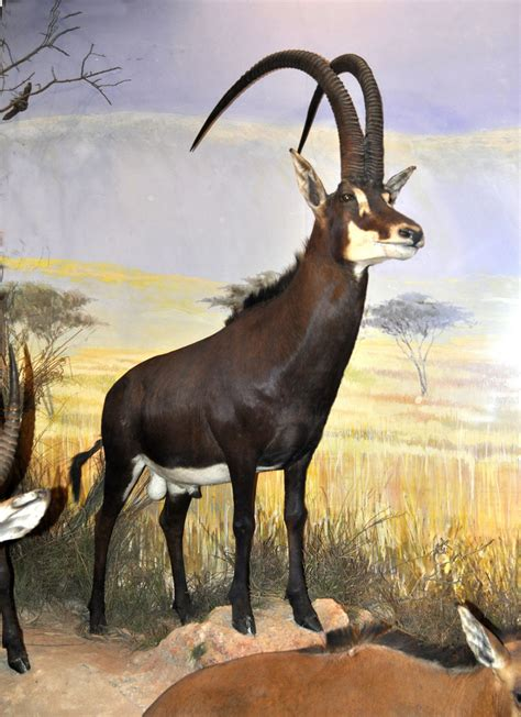 giant sable antelope dinopedia fandom powered  wikia