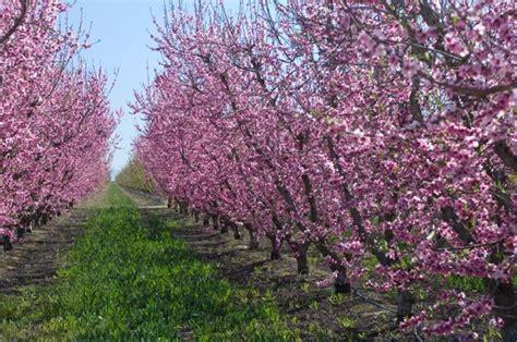 fiori di susino prugno piante da frutto caratteristiche della prugna