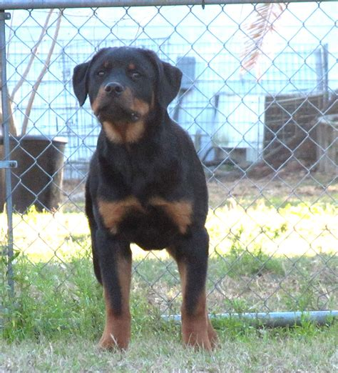american rottweiler breeders alfalar rottweiler puppies for sale florida rottweiler breeder trainer