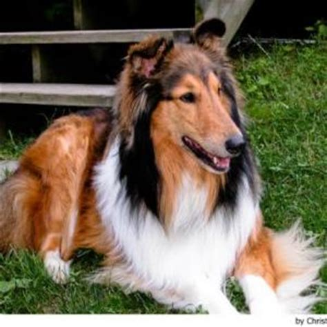 haired big dogs image gallery haired large