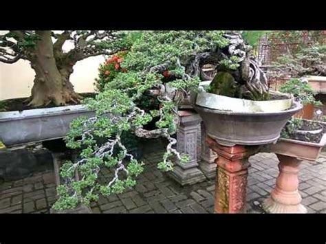 Jual Bakalan Bonsai Jawa Timur bonsai santigi bakalan bonsai santigi jawa timur surabaya doovi