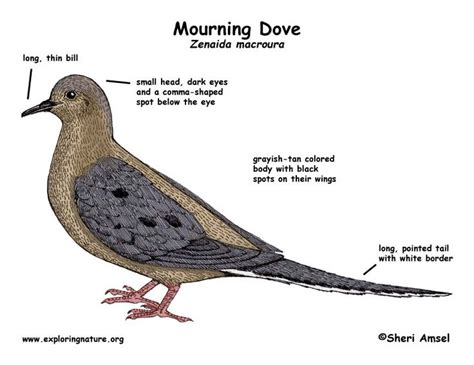 Mourning Dove Birdhouse Plans Free Mourning Dove House Plans