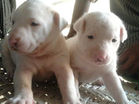 dogo argentino puppy price dogo argentino puppies for sale beingdoglover 1 13121 dogs for sale price of