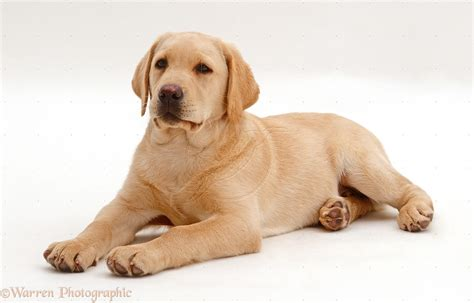 golden lab puppies labrador retriever wallpaper