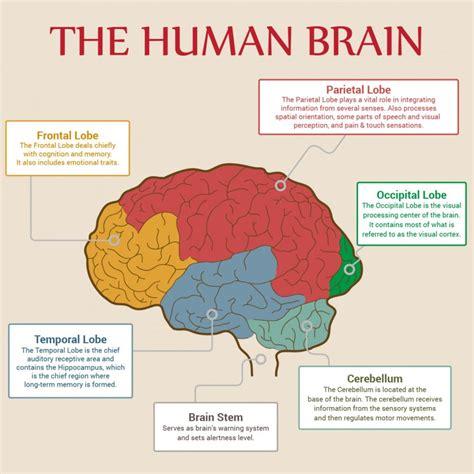 sections of the human brain human brain anatomy