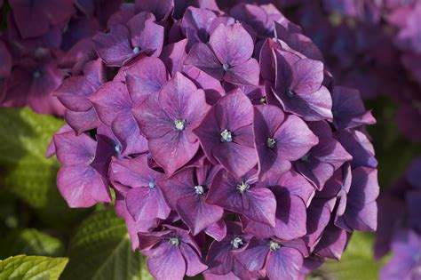 Purple Hydrangea july 2010 the intermittent kevin