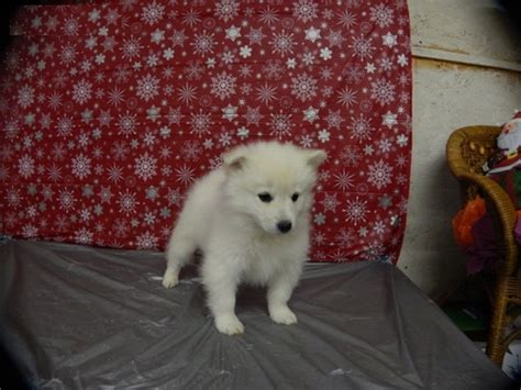 american eskimo puppy for sale american eskimo puppies for sale offer 100